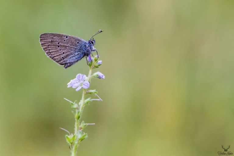 Blauling auf einer Blume