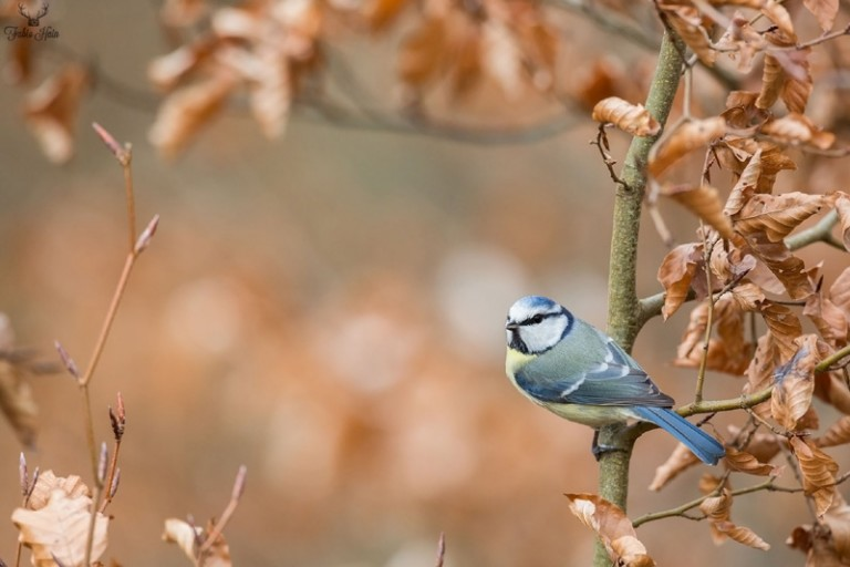 Blaumeise im Frühling