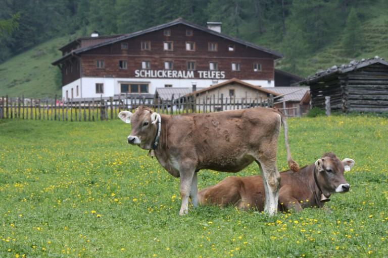 Kühe auf der Schlickeralm