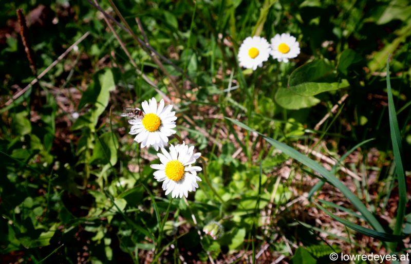 uli eigentler-lowredeyes-gaensebluemchen